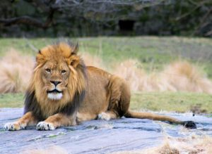 Lions must be patient on the Dutch dating scene