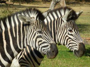zebra-1077897_1280
